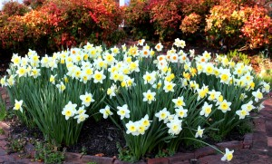 a bunch of flowering daffodils