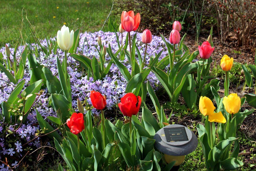 outdoor garden - tulips
