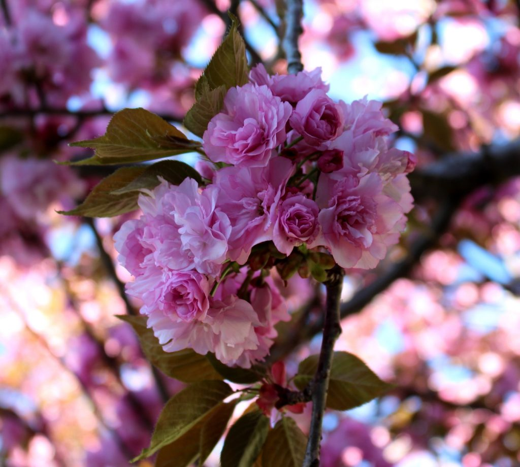 pink cherry tree in full bloom