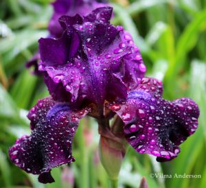 Deep purple Iris flower