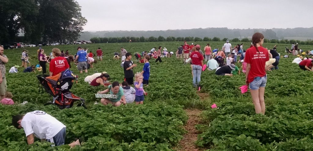 People in a strawberry field