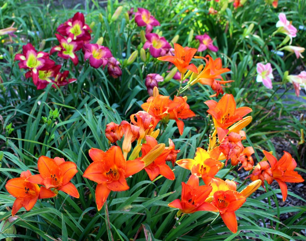 Daylily garden in bloom