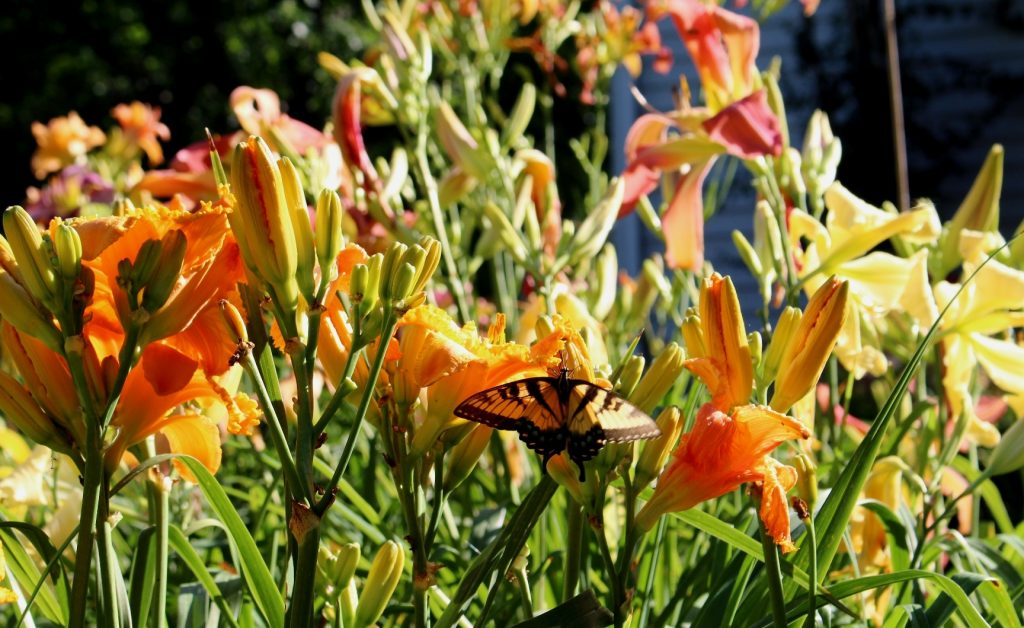 A butterfly in a daylily garden