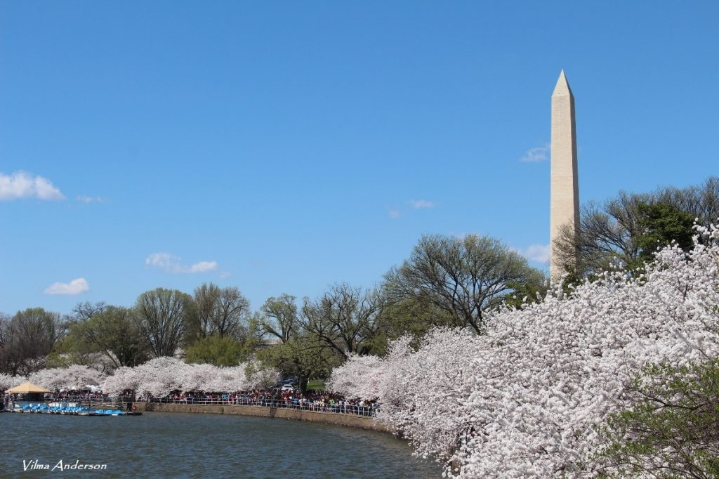 Washington DC Tidal basin during Cherry Blossom festival