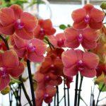 peach color orchids