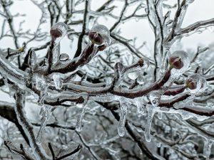 tree branch encased in ice