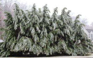 pine trees after ice storm - 2019