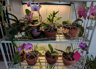 several blooming orchids
